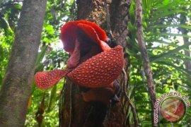 Kabupaten Kaur tawarkan ekowisata habitat rafflesia