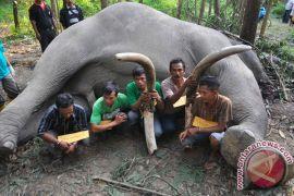 Tersangka Pembunuh Gajah