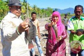 Bupati Aceh Selatan Panen Perdana Ikan Nila