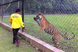 Seekor harimau sumatera dari Muara Enim jalani rehabilitasi di TWNC
