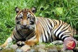 Seorang warga Merangin tewas diterkam harimau