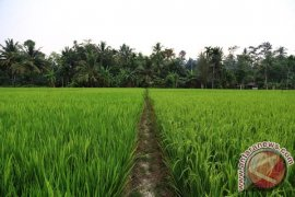 Petani Aceh Utara Kewalahan Atasi Hama Wereng