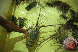DKP Kalbar: Produksi Lobster Setahun 94 Ton