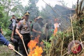 5.000 batang tanaman ganja dimusnahkan