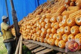 Gorontalo Ekspor 91.500 Ton Jagung