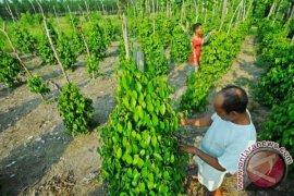 Petani Lada Bangka Harapkan Bantuan Lahan Perkebunan