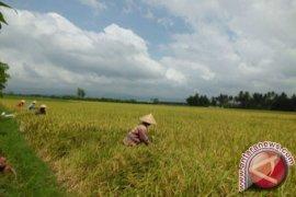 Petani Kertak Hanyar Kalsel Terhindar El Nino