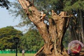Awas,  Pohon `KTP` Merah Di Bogor