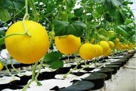 Distanak Berharap Melon Golden Jadi Ikon Banten