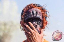 Aktivis: Hentikan Memanusiakan Orangutan