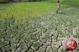 181 hektare sawah di Jambi terancam kekeringan