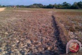 Jambi kehilangan 340 ton padi akibat fuso