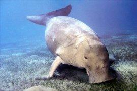 Indonesia Dapat Dana Hibah Pelestarian Dugong