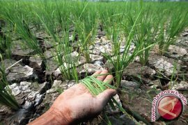 368 hektare sawah di Jambi terancam puso