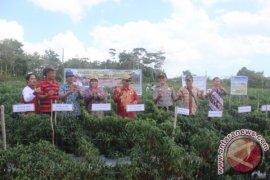 Petani Bangka Tengah Panen Raya Cabai Merah