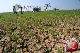 603 Hektare Sawah Terancam Gagal Panen