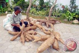 Harga Singkong Lampung Naik 45 Persen