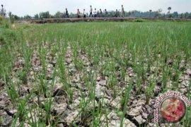 1.077 Hektare lahan sawah Batanghari alami kekeringan