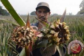 Musim Kemarau Produksi Nanas Petani Tangkit Menurun