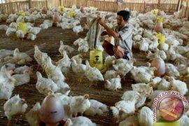 Ratusan Ayam Di Jampangtengah Sukabumi Mati Mendadak