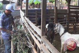 BPBD Badung Membantu Evakuasi Hewan Ternak Pengungsi