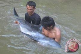 Warga Selamatkan Lumba-Lumba Terjepit Akar Bakau