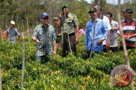 Bupati Bangka Tengah Hadiri Panen Raya Cabai Rawit