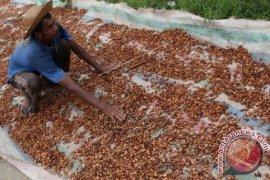 Harga kakao tingkat petani turun di Gayo Lues
