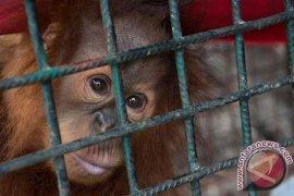 Orangutan Selundupan Dari Thailand Jalani Tes DNA