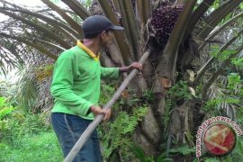 Apkasindo: hasil panen sawit petani Jambi menurun