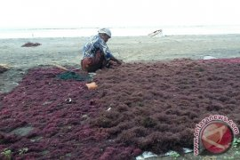 Warga Pesisir Jembrana Panen Rumput Laut