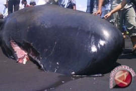 Ikan Paus Tutul Terdampar di Pantai Tulungagung