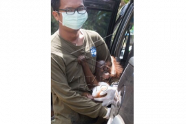 Bayi Orangutan Stress