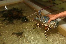 Populasi Lobster