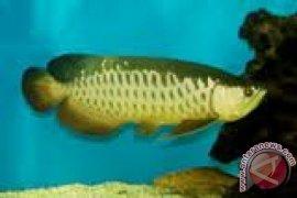 Ikan arwana dijadikan santapan