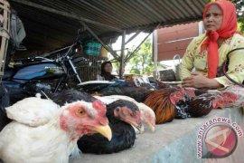 18 Ayam Mati Bojonegoro Bukan Flu Burung