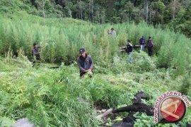 Satgas Yonif 516/CY Temukan Ladang Ganja