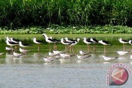 Burung Migran Jadi Andalan Festival Danau Limboto