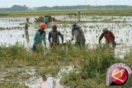 Ratusan hektare sawah Jambi fuso akibat banjir