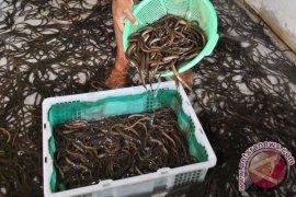 """Teknologi """"Nanobubble"""" Mampu Tingkatkan Pertumbuhan Ikan 40 Persen"""