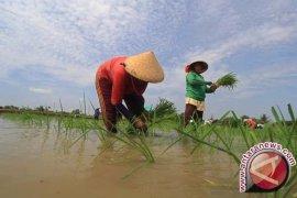 Bangka Selatan Kekurangan PPL Dampingi Petani Padi