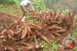 Warga usulkan pabrik pengolahan singkong di Mukomuko