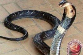 Berikut ciri-ciri ular berbisa menurut ahli reptil ITB
