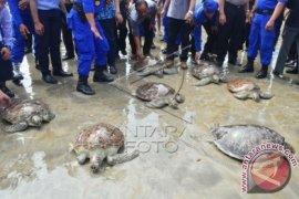 Polda Bali Lepasliarkan 31 Penyu Hasil Sitaan