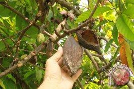 Hama buah ganggu petani kakao di Aceh Utara