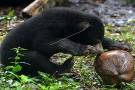 Anak Beruang Madu