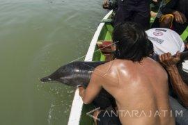 Lumba-lumba Terdampar Dilepas di Kaki Jembatan Suramadu