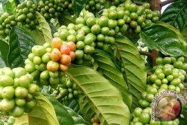 Masyarakat Kampung Delima kembangkan tanaman kopi arabika