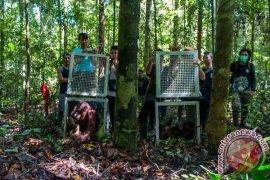 Dua Orangutan Repatriasi asal Thailand Dilepasliarkan