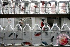 Permintaan Ikan Cupang Meningkat Pada Ramadhan